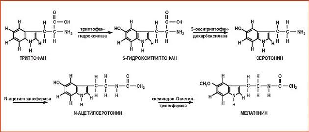 Биосинтез мелатонина