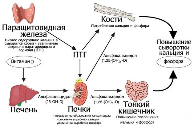 Схема паратгормона